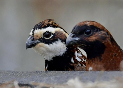 コリンウズラ♂&若鳥4943