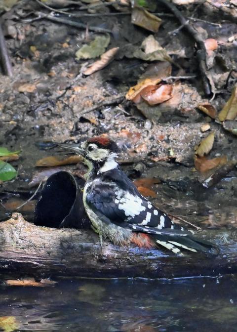 アカゲラ♂幼鳥3711