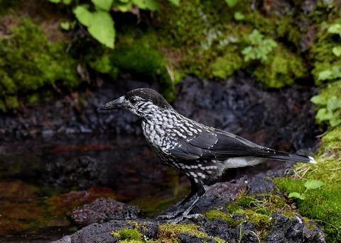 ホシガラス幼鳥3214