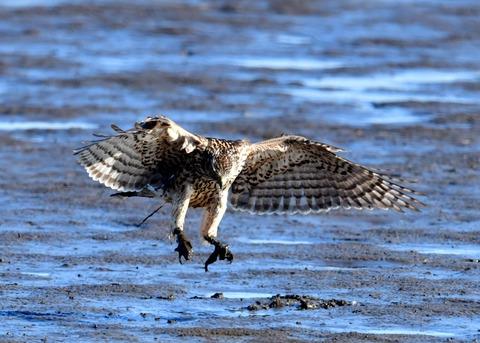 オオタカ若鳥0836