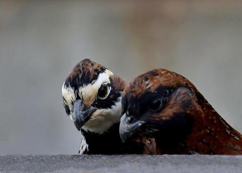 コリンウズラ♂&若鳥4916