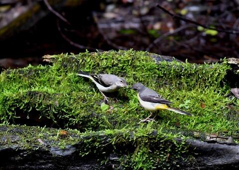 キセキレイ幼鳥8224