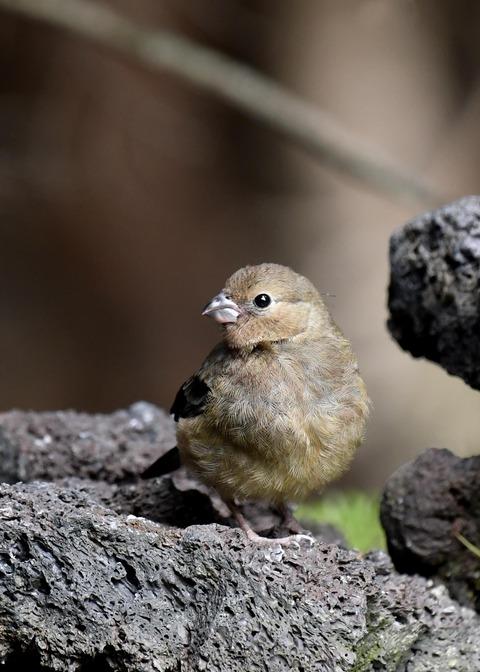 ウソ幼鳥8542