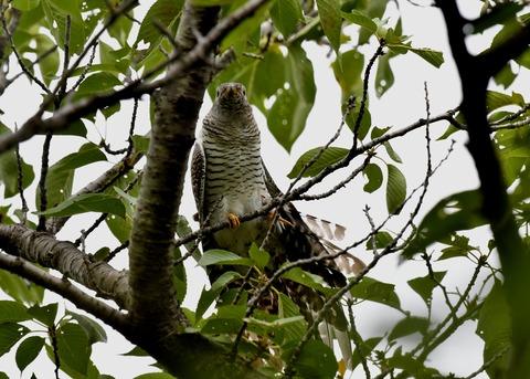 ツツドリ幼鳥5584