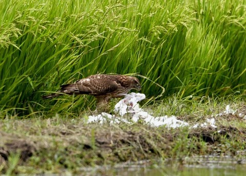 オオタカ若鳥2864