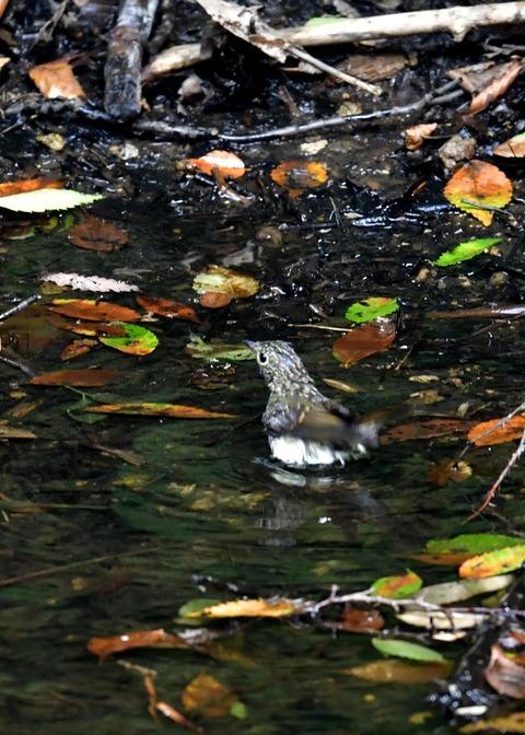 キビタキ幼鳥0795