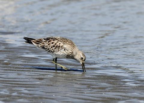 オバシギ若鳥1364