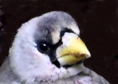 )イカル幼鳥1002(1361)