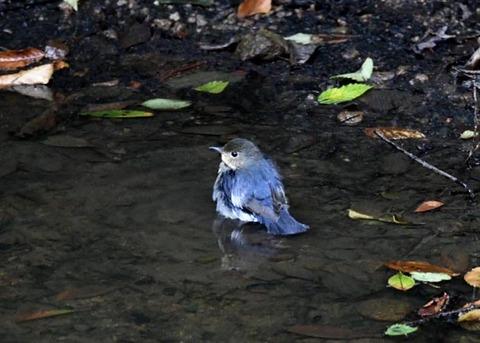 コルリ♂幼鳥7321