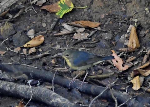 コルリ♂幼鳥2564