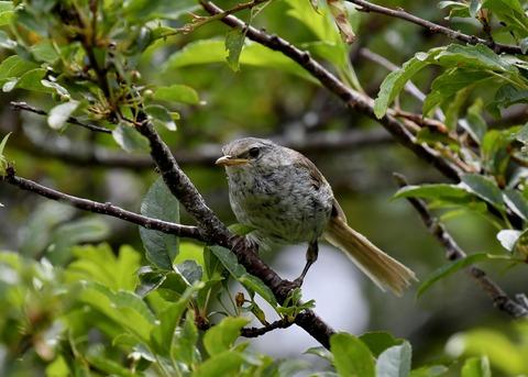 ウグイス幼鳥2720 - コピー