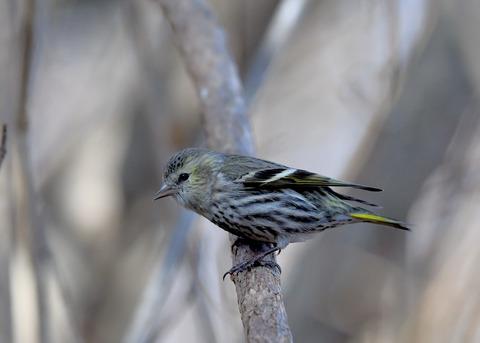 マヒワ若鳥3675
