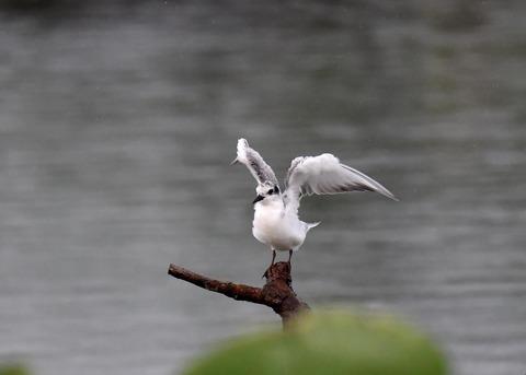 クロハラアジサシ幼鳥1836
