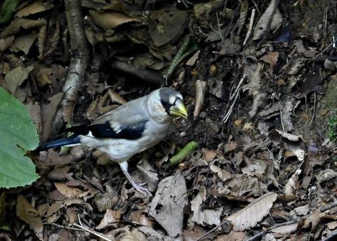 イカル幼鳥1175