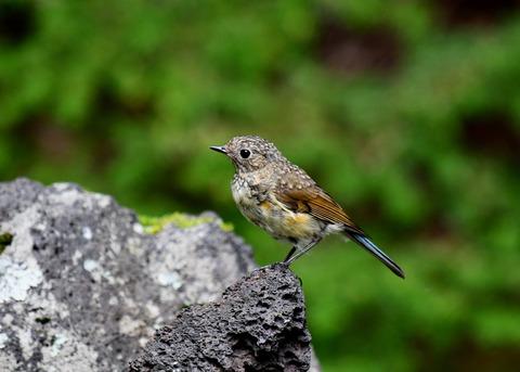 ルリビタキ幼鳥3367
