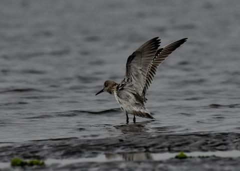 飛ぶ・オバシギ幼鳥4572
