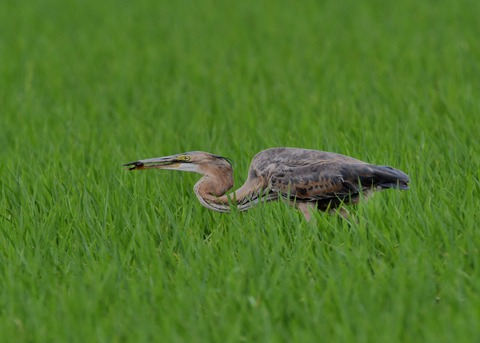 ムラサキサギ若鳥2854