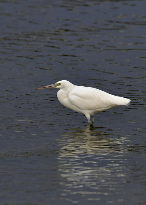 クロサギ白色型7543