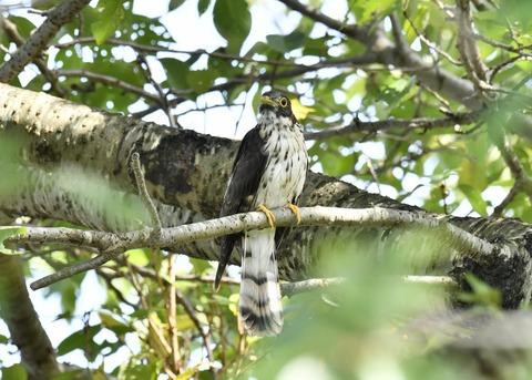 ジュウイチ幼鳥2908