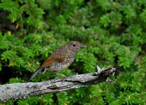 ルリビタキ幼鳥8362