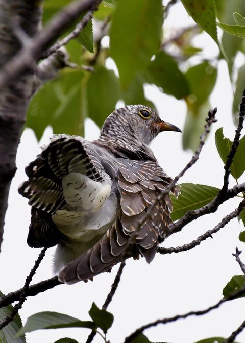 ツツドリ幼鳥5507