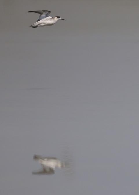 飛ぶ・アカエリヒレアシシギ9266
