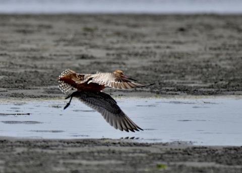 飛ぶ・オオソリハシシギ夏羽7780