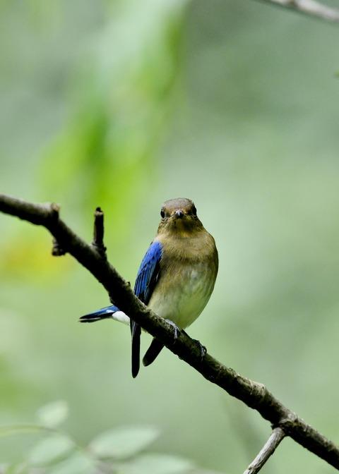 オオルリ♂若鳥0563