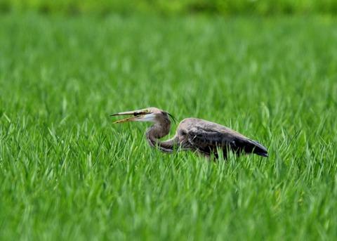 ムラサキサギ若鳥2272