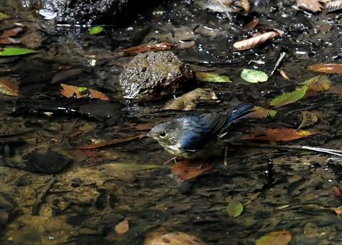 コルリ♂幼鳥4180