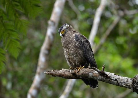 カンムリワシ成鳥5974