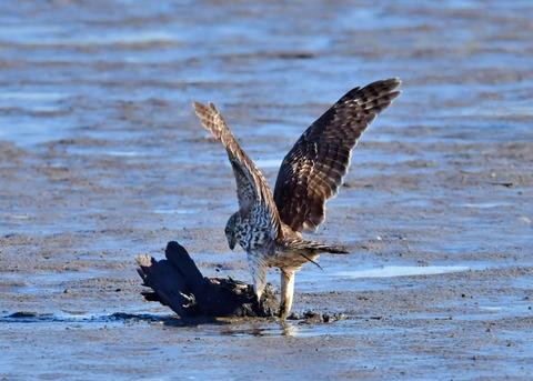 オオタカ若鳥0602
