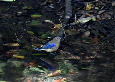 オオルリ幼鳥♂8329