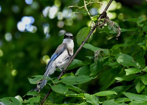 オナガ幼鳥0434