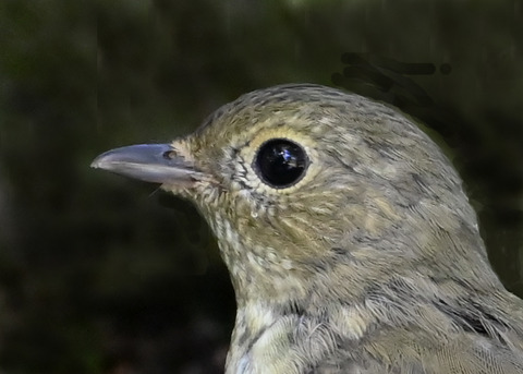キビタキ♀幼鳥1002(1340)
