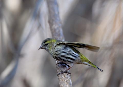 マヒワ若鳥3670