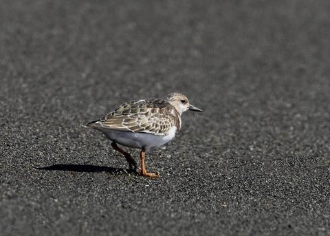 キョウジョシギ幼鳥5998