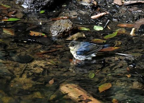コルリ♂幼鳥4152