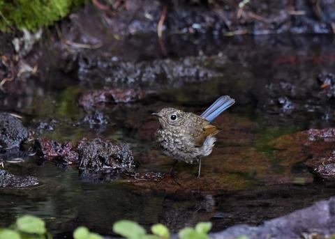 ルリビタキ幼鳥1313