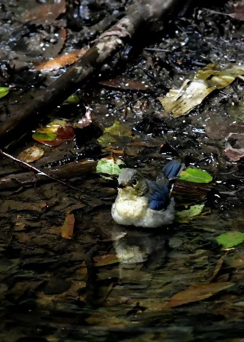 コルリ♂幼鳥4089