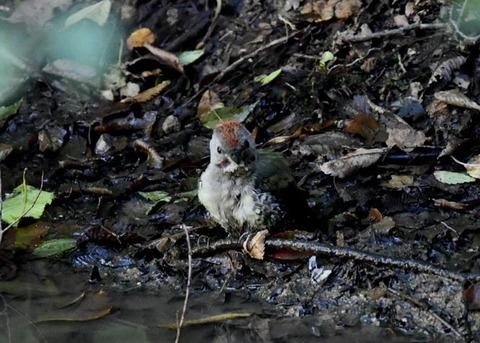 アオゲラ幼鳥♂8612