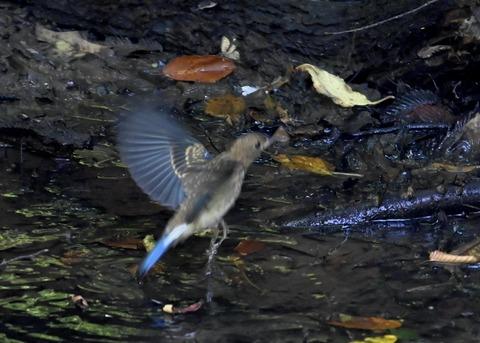 オオルリ♂幼鳥4380