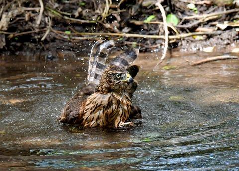 オオタカ幼鳥3937