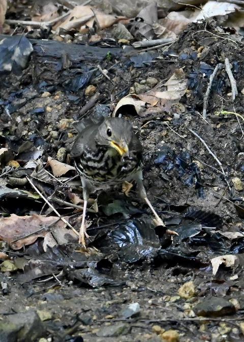 クロツグミ幼鳥5865