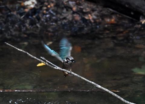 カワセミ若鳥4350
