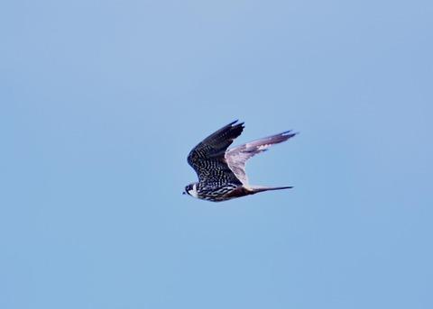 飛ぶ・チゴハヤブサ♂0957