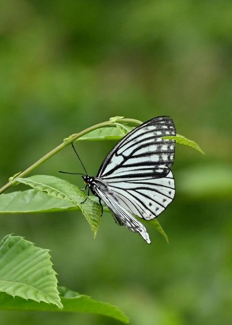 アカボシゴマダラ(春型)6152