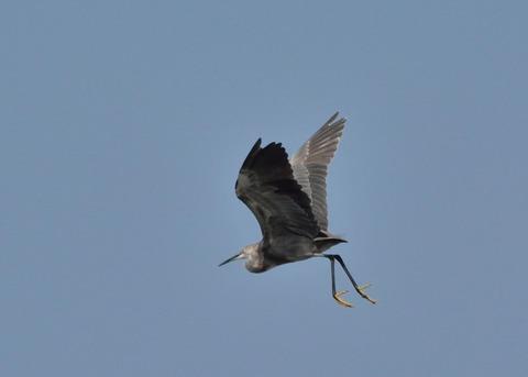 飛ぶ・コサギ・暗色型4470