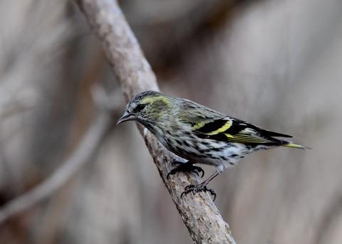 マヒワ若鳥3279