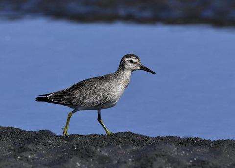 コオバシギ幼鳥0213